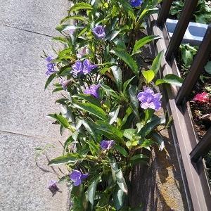 """元気に咲いていた紫の花は、""""ムラサキルエリア"""""""