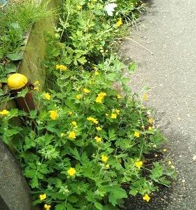"""黄色いで可愛い花 """"クサノオウ"""" は薬草の王様?"""