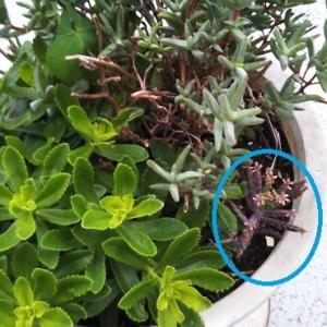 多肉植物  錦蝶(キンチョウ)のフォルムと半端ない繁殖力