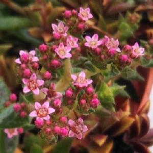 """多肉植物 : """"筑羽根"""" に可愛いピンクの花が咲きました"""