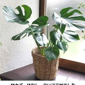 """観葉植物""""モンステラ"""" 2週間の生長記録"""
