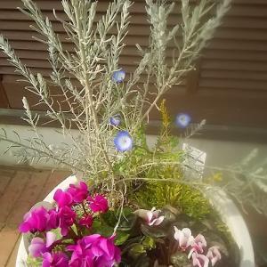 奇跡の再会!ネモフィラが咲いているじゃありませんか!