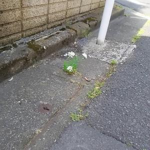 """こ近所で可愛い花が咲いてます! """"オルレア・ホワイトレース"""""""