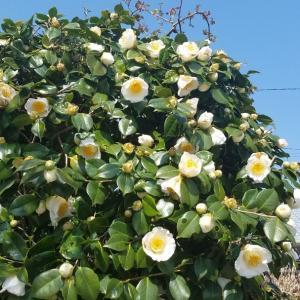 ☆庭の花たち・椿リポ