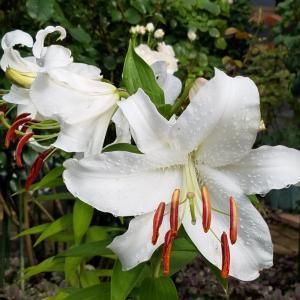 梅雨の晴れ間☆庭のお花ののご紹介
