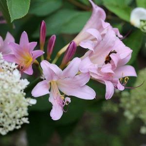 夏水仙☆庭に咲く夏の花のご紹介