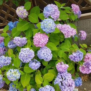 色んな色で咲く紫陽花☆エンドレスサマー
