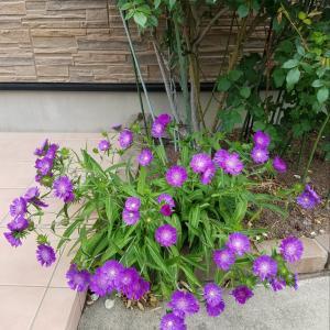 ストケシア☆庭の花もレッスンで!
