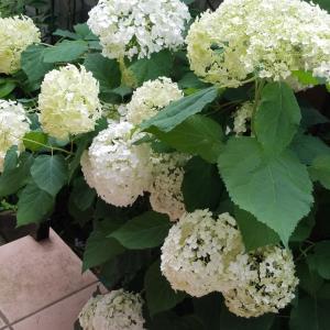 梅雨に咲いていた⭐庭の花たち