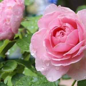 庭の薔薇☆ライラックローズ