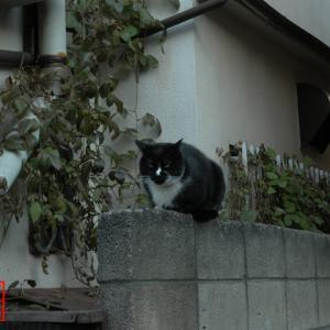 塀上でもっちり丸まる猫饅頭