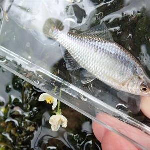 7月末の滋賀で釣り三昧~その3 北湖周辺でタナゴ釣り