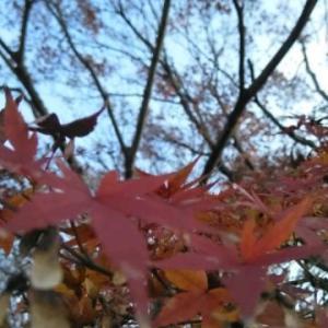 チャコちゃん紅葉見上げて淋しそう。