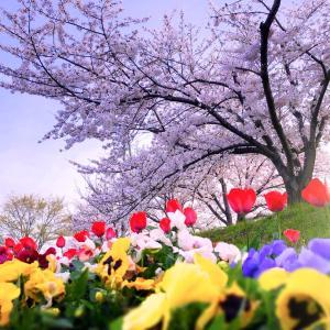 今さらの桜画像