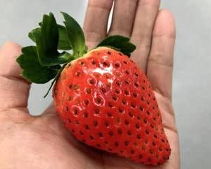 奈良のイチゴはスゴい!電照保温の技術/新品種「珠姫(たまひめ)」