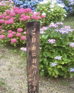 梅雨の晴れ間に、咲く紫陽花。