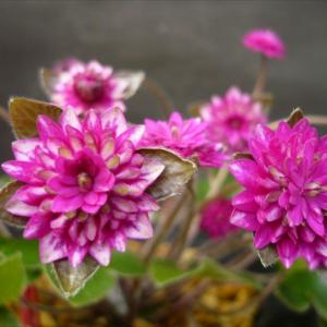 さくら開花