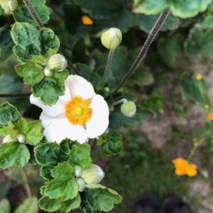 シュウメイギクや白い小菊が咲き始めました