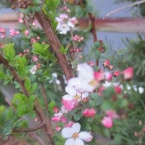 美しいピンクのユキヤナギ