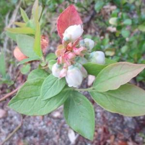 可愛いブルーベリーの花
