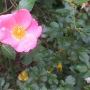 かわいい一重のバラが咲いています。