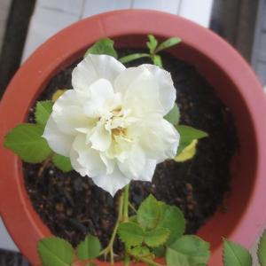 可愛い白薔薇