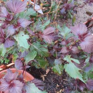 綺麗な赤紫蘇シロップ
