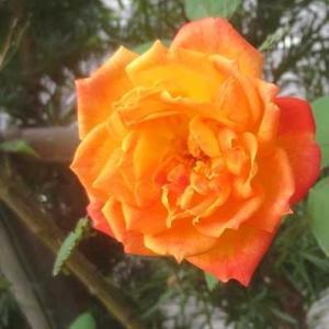 素敵なオレンジの薔薇が咲いています
