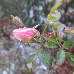 薔薇のつぼみ