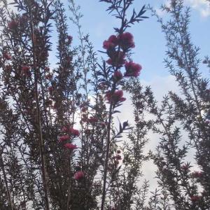 ギョリュウバイの押し花