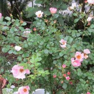 一重の薔薇の押し花