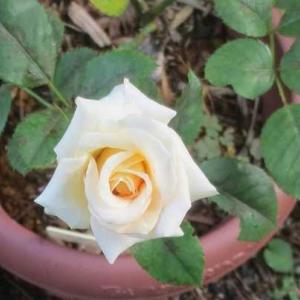 薔薇「琴音」