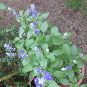 ブルーサルビアが咲いています
