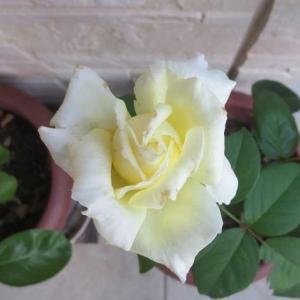 薔薇の花姿