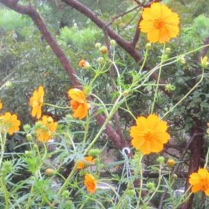 キバナコスモスが咲いています