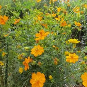 キバナコスモス オレンジと黄色