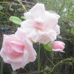 雨の中の薔薇