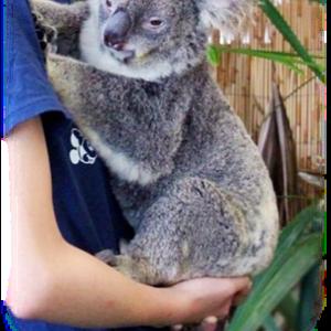 ◆ コアラ抱っこしたよ♪ ◆