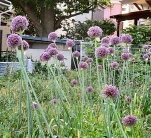 ジャンボニンニクの花