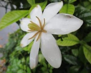クチナシの花にくるマルハナバチ