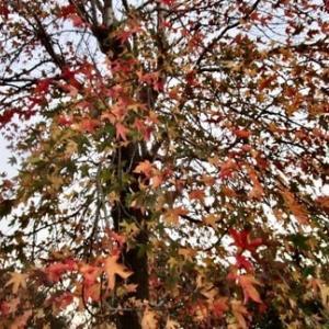 モミジバフウの紅葉と冬桜の花