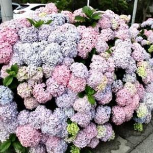アジサイの花とジャンボニンニクの花