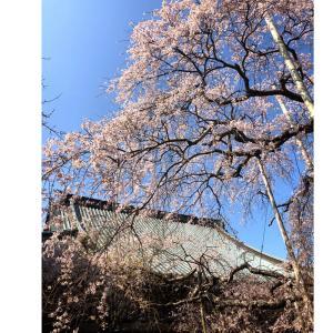 般若院の枝垂れ桜(龍ヶ崎市)