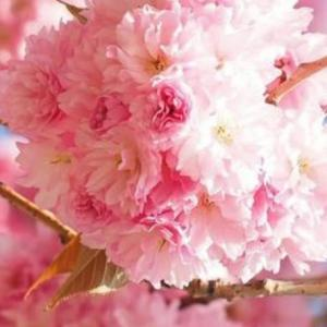 八重桜(ボタン桜)が満開