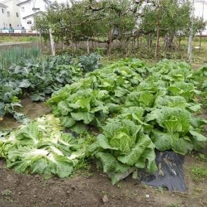 コンパニオンプランツ効果があったような白菜の収穫!!
