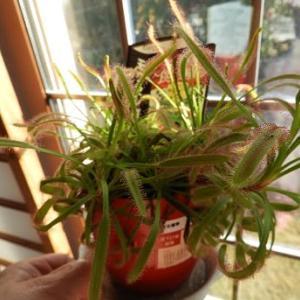 食虫植物モウセンゴケの植え替え