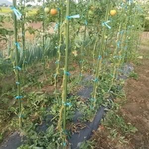 ミニトマト、つやぷるんでトマトケチャプを作ってみた!