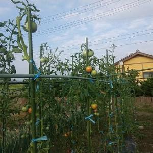 トマトの撤去とカボチャの収穫