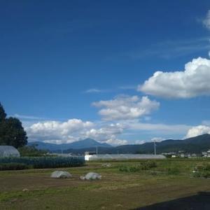 雑草だらけのトウ立の多かった今年の玉ねぎの収穫!!