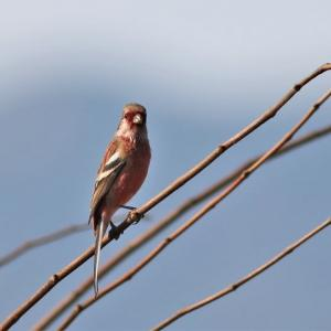 ベニマシコ, Long-tailed Rosefinch